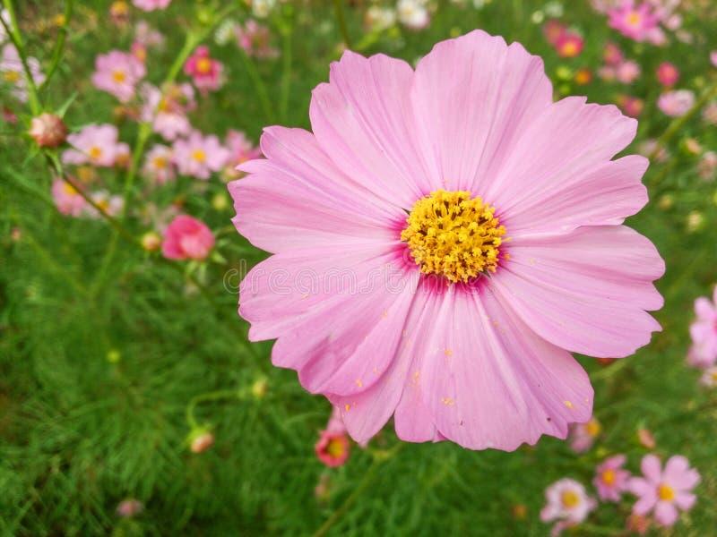 Plama, piękni kosmosów kwiaty obrazy stock