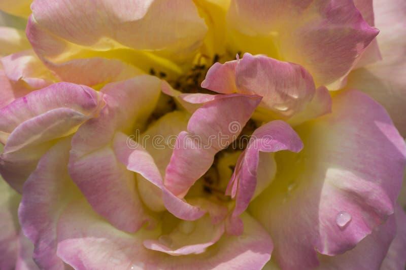 Plama różani płatki, zakończenie w górę, abstrakcjonistyczny tło zdjęcia stock