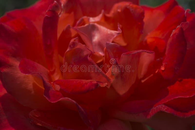 Plama różani płatki, zakończenie w górę, abstrakcjonistyczny tło fotografia royalty free