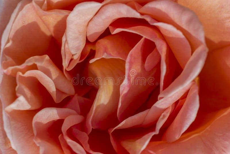 Plama różani płatki, zakończenie w górę, abstrakcjonistyczny tło zdjęcie stock