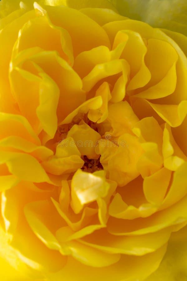 Plama styl dla tła: kolor żółty róży płatki w miękkim kolorze zdjęcia royalty free