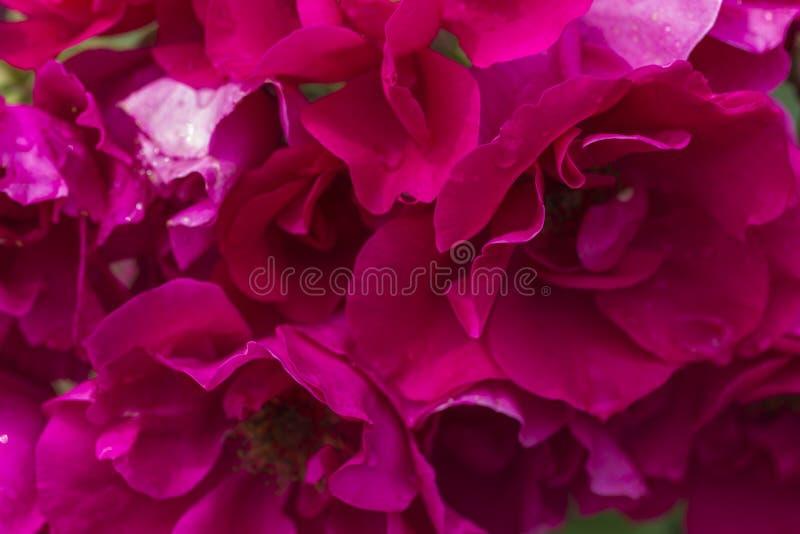 Plama styl dla tła: menchii róży płatki w miękkim kolorze obrazy stock
