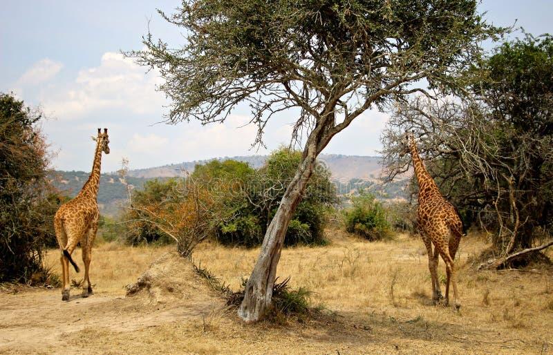 Plamiące żyrafy na safari objeżdżają w Rwanda zdjęcie stock