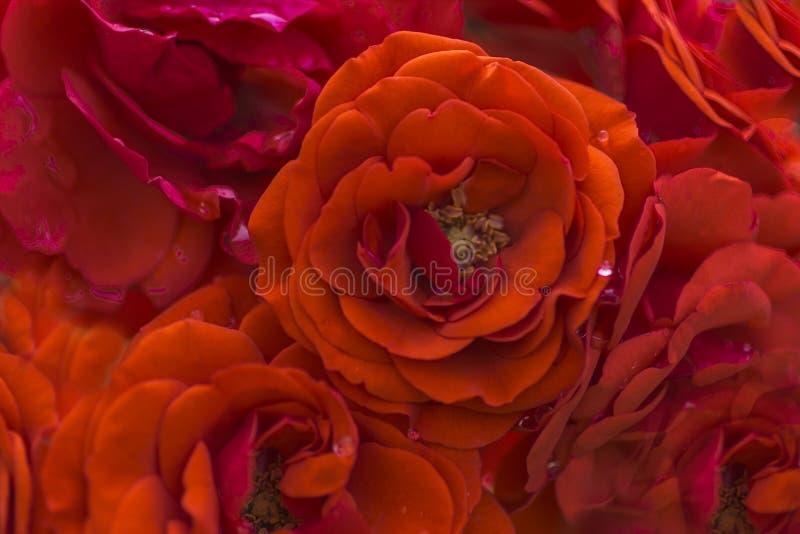 Plamy czerwieni róży płatki, zakończenie w górę, abstrakcjonistyczny tło zdjęcia stock
