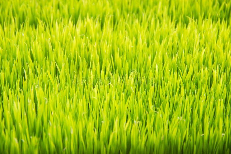 Plamy tło zielony ryżu pole obrazy royalty free