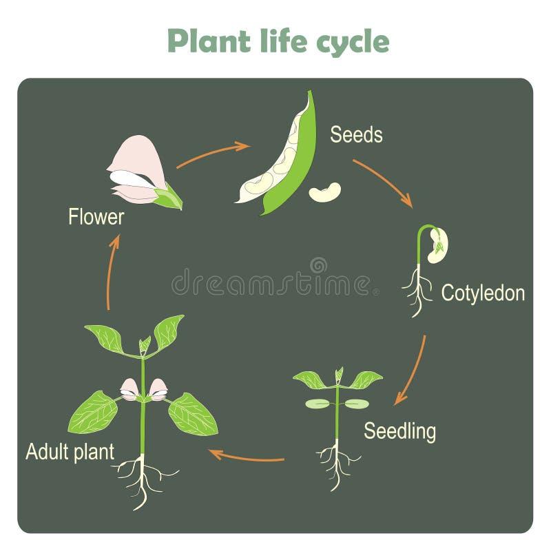 Plan de cycle de flore Étude de la biologie illustration libre de droits