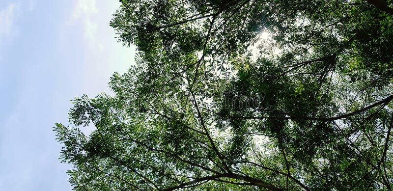 Plan de la grande branche d'arbre vert avec la lumière du soleil, les feuilles et le ciel bleu pour l'arrière-plan photos stock