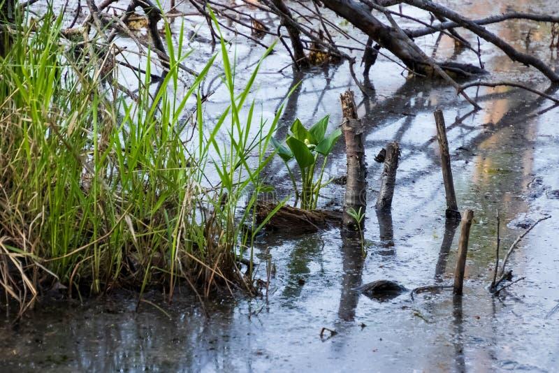 Plan för vatten för fredlilja som vatten- växer löst i sumpig våtmark av Northwoodsen royaltyfria foton