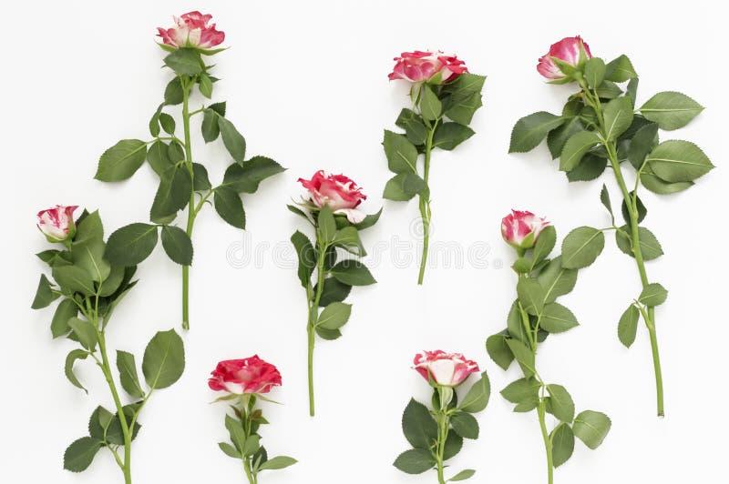 Plan orientering för härliga små rosor på vit bakgrund royaltyfria bilder