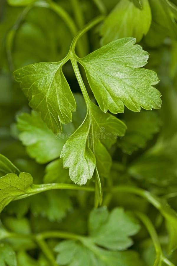 plan parsley för bakgrund royaltyfri bild