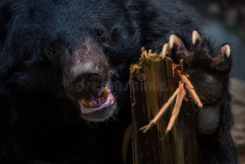 Plan rapproché à faire face de l'ours noir de Formose d'adulte tenant le bâton en bois avec les griffes photographie stock