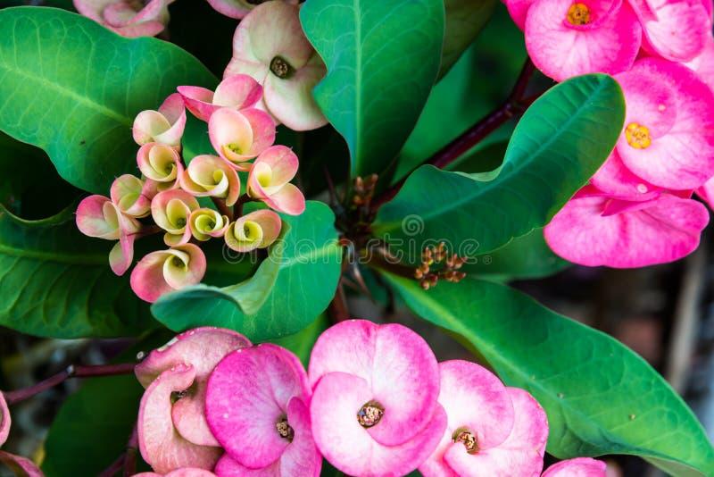 Plan rapproché à la couronne de la fleur de fleur d'épines photographie stock