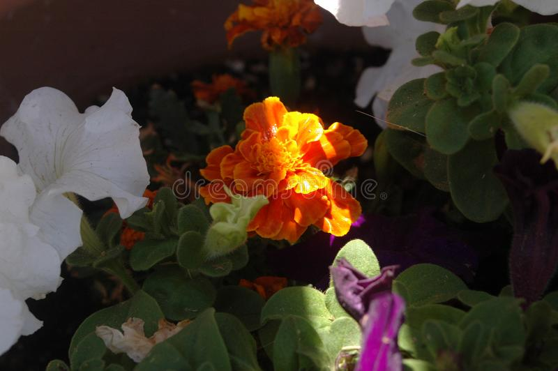 Plan rapproché à pleine vue du souci coloré solitaire entouré par des fleurs de pétunia avec l'éclaboussure du matin de la pleine photos libres de droits