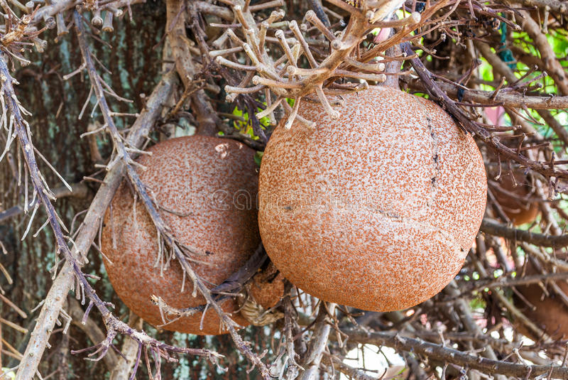 Plan rapproché à Shala Fruit, arbre de boulet de canon [Shorea robusta] image libre de droits