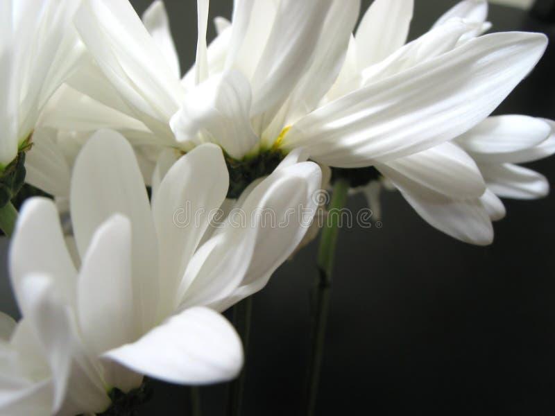 Plan rapproché 1 de marguerite blanche photos stock