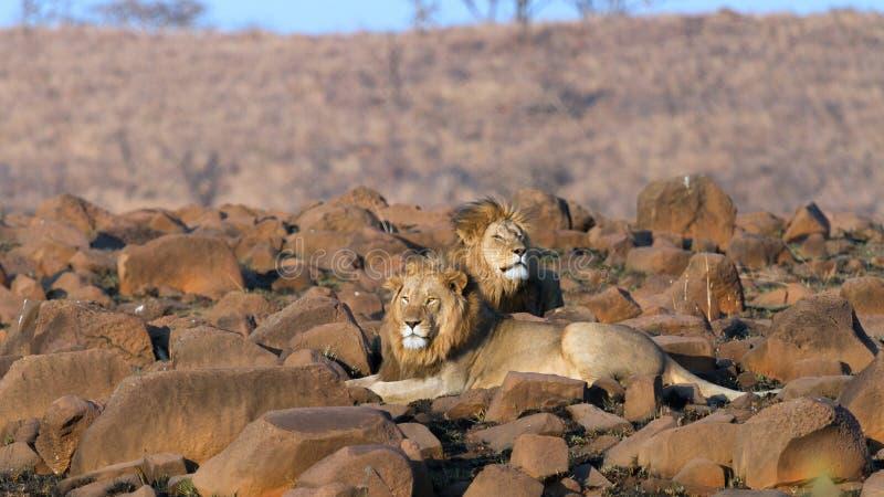 Plan rapproché africain de lionne de lions photos stock