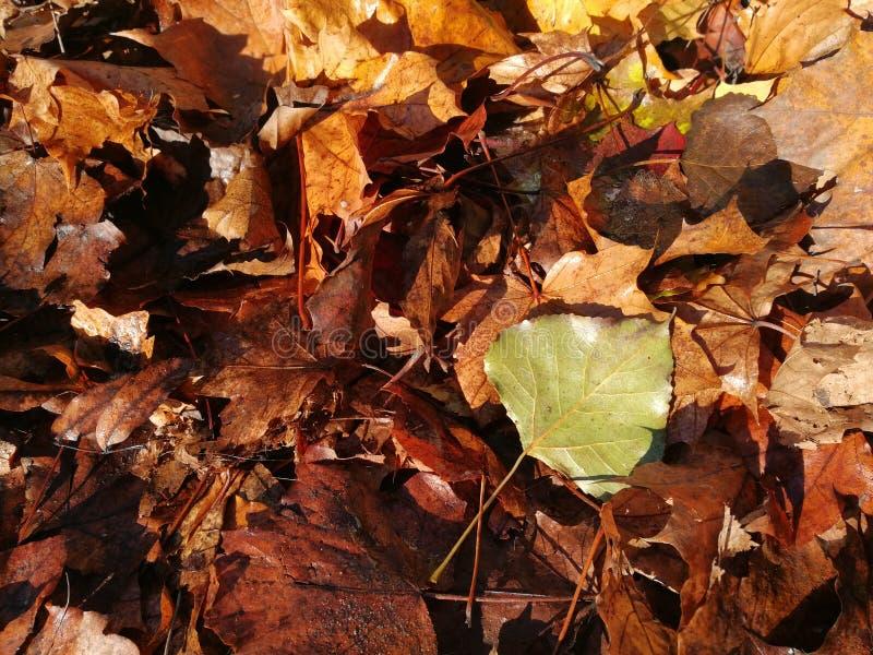 Plan rapproché animé des feuilles d'automne en baisse avec le contre-jour vibrant du soleil photographie stock