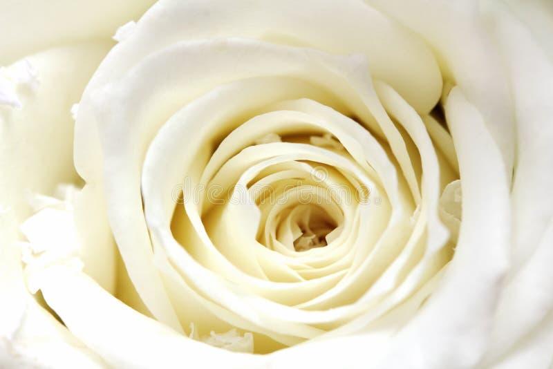 Plan rapproché blanc de pétales roses photos libres de droits