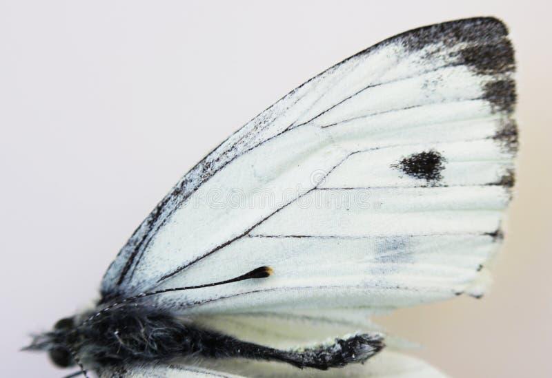 Plan rapproché blanc de Pieridae de papillon d'insecte mort, aile sur le fond blanc images libres de droits
