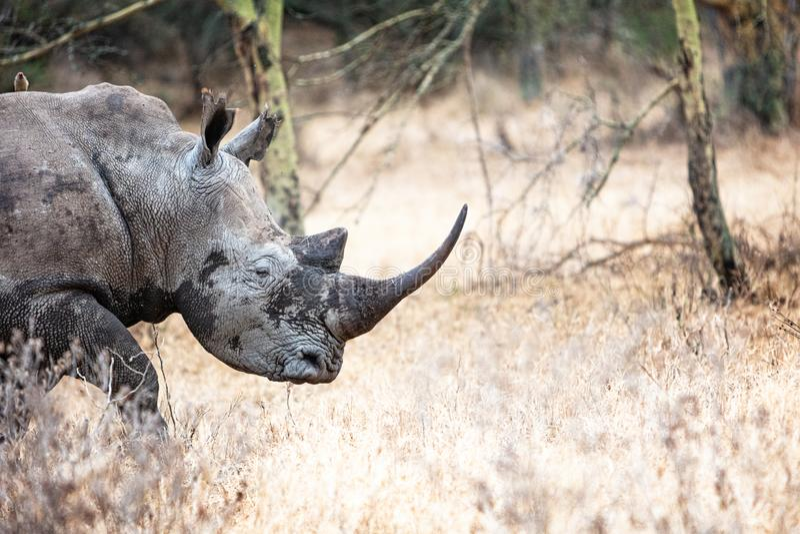 Plan rapproché blanc du sud de rhinocéros dans le lac Nakuru images stock