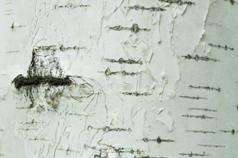 Plan rapproché blanc et noir d'écorce de bouleau naturelle de rayures de fond photo libre de droits