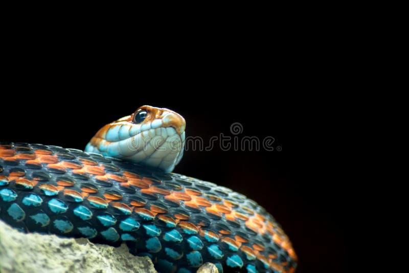 plan rapproché Bleu-orange de serpent solated sur un noir photographie stock libre de droits