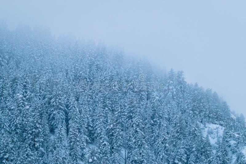 Plan rapproché brumeux de région sauvage des pins images stock