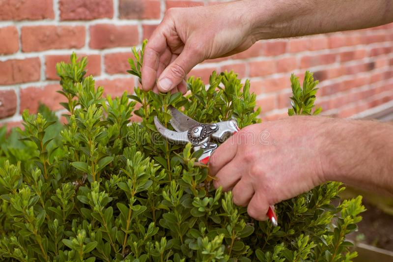 Plan rapproché Cisaillements d'arbuste taillés par jardinier de mains photos libres de droits