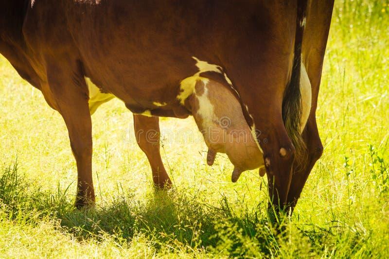 Plan rapproché détaillé de mamelle de vache image libre de droits