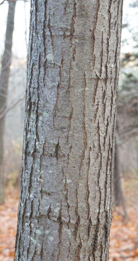Plan rapproché d'écorce de chêne rouge images stock