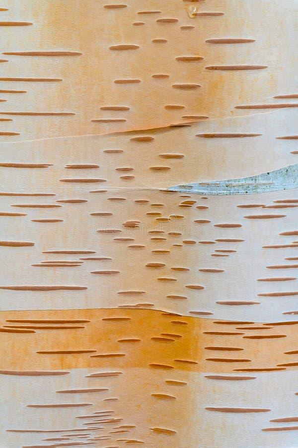 Plan rapproché d'écorce de tronc d'arbre de bouleau de papier photos stock