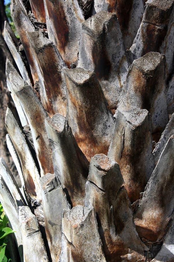 Plan rapproché d'écorce sur le tronc d'un palmier images libres de droits
