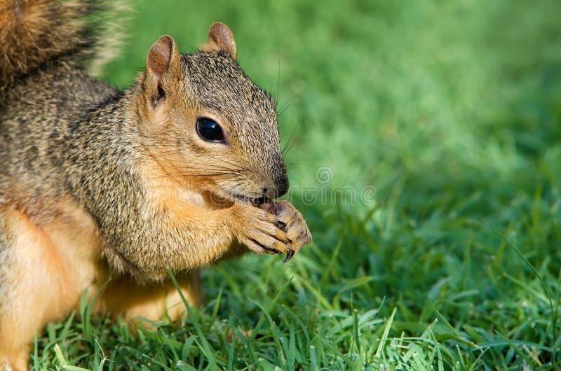 Plan rapproché d'écureuil de Fox photo stock