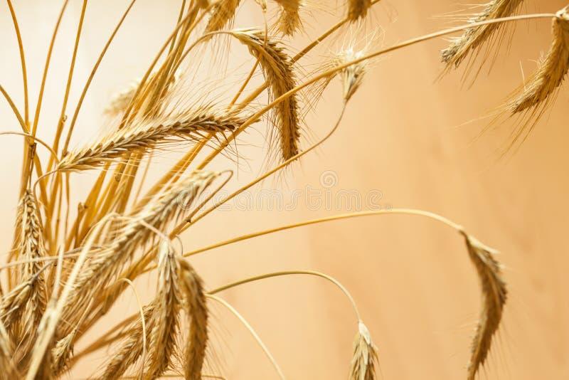 Plan rapproché d'épi d'or de blé photos stock