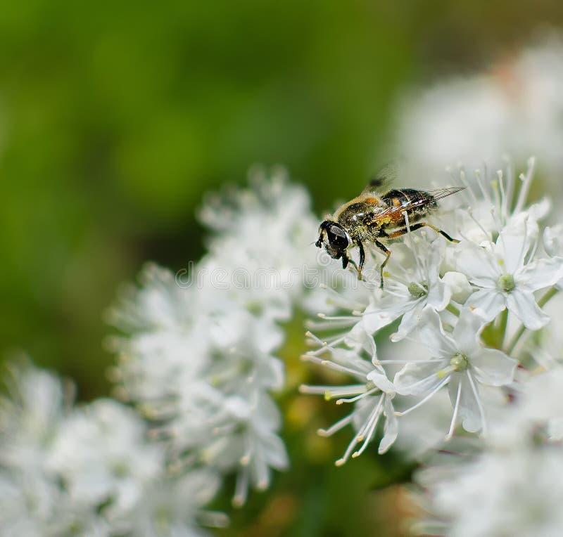 Plan rapproch? d'abeille sur la fleur blanche de romarin sauvage photo stock