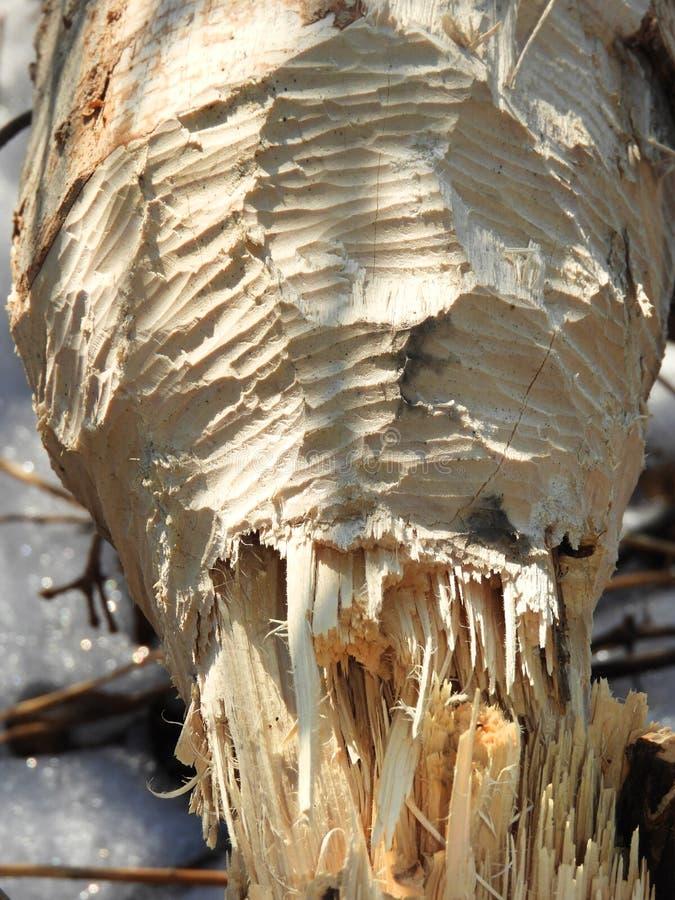 Plan rapproché d'arbre mâché par le castor image libre de droits