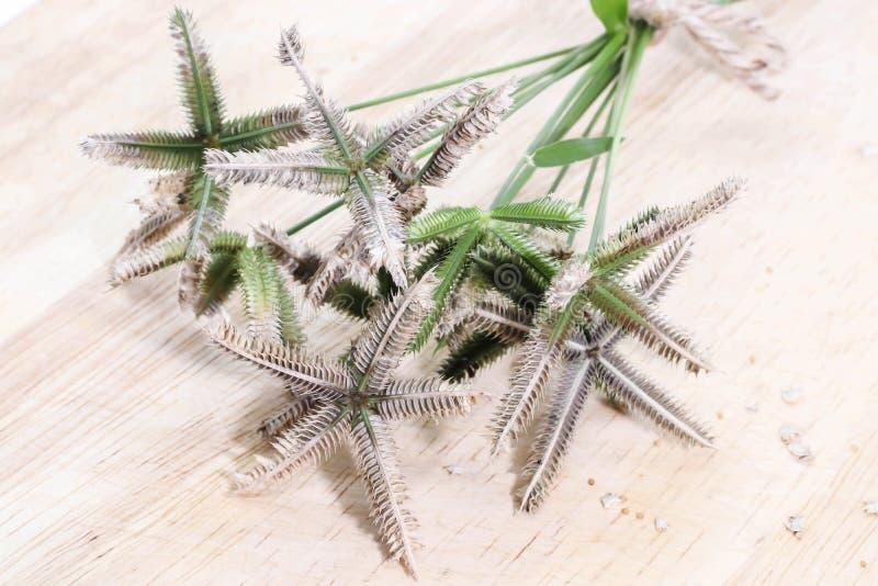 Plan rapproché d'herbe de rallonge coudée de bouquet ou wiregrass ou Egyptien de plage images stock