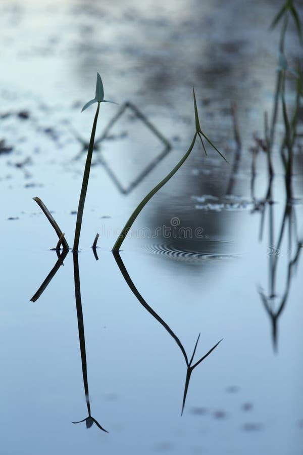 Plan rapproché d'herbe de soirée dans l'eau avec la réflexion, texture de l'eau Instantané de fond de la surface de l'eau le soir photos libres de droits