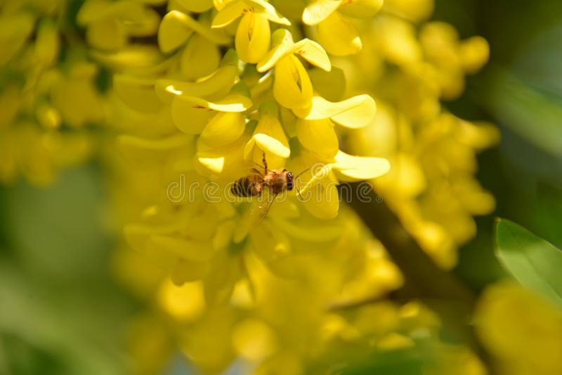 Plan rapproché d'insectes Abeille rassemblant le nectar de la fleur jaune gentille de l'acacia photographie stock