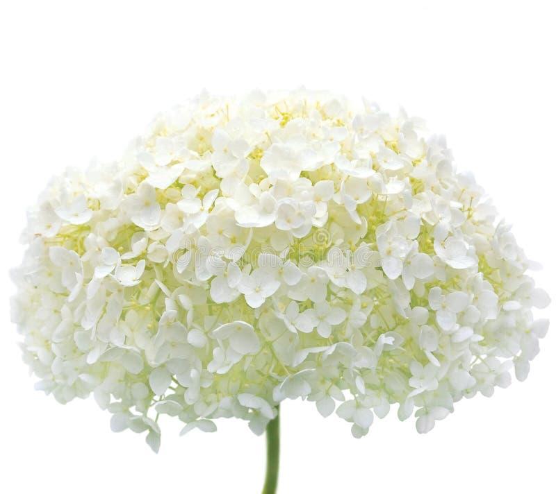 Plan rapproché d'isolement par fleur blanche Mophead de Hydrangea image stock