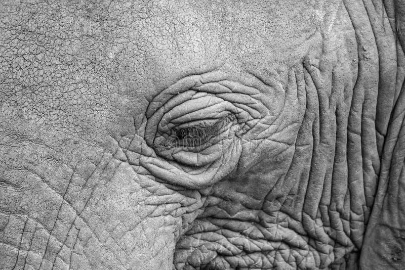 Plan rapproché d'oeil d'éléphant dans noir et blanc photo stock