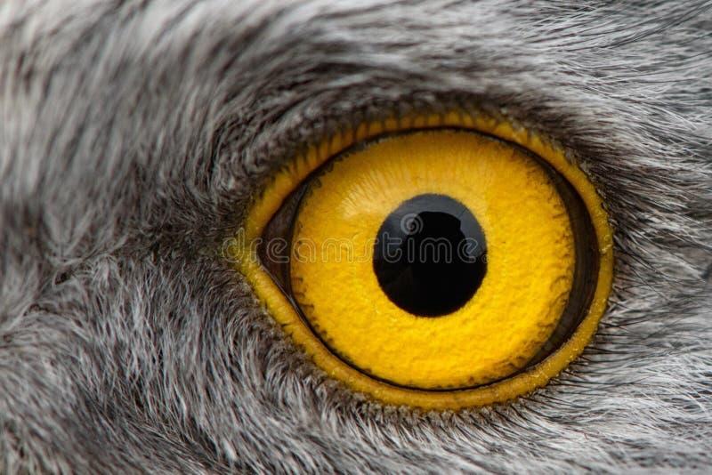 Plan rapproché d'oeil d'Eagle, macro photo, oeil du harrier du nord masculin image stock