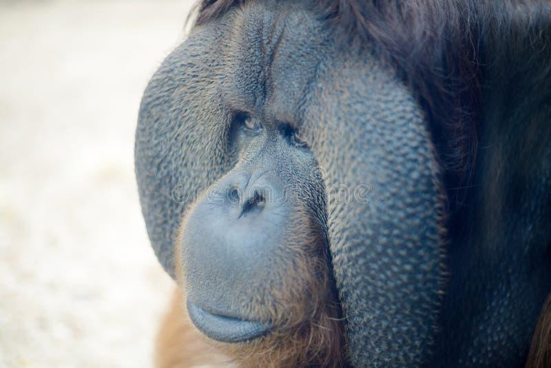 Plan rapproché d'orang-outan photos libres de droits