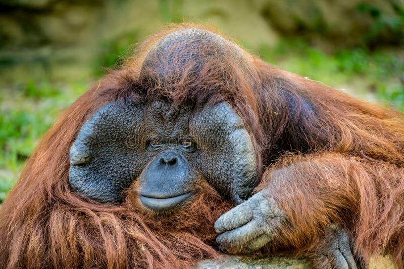 Plan rapproché d'orang-outan image stock