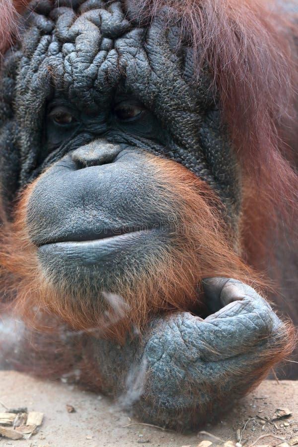 Plan rapproché d'orang-outan bornean image libre de droits