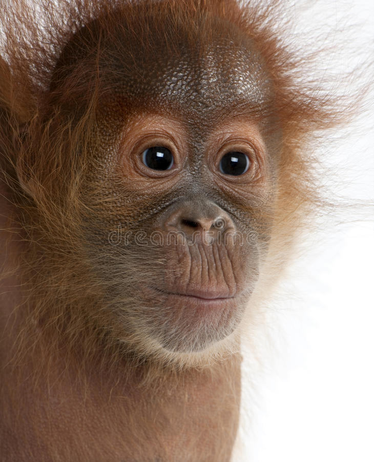 Plan rapproché d'orang-outan de Sumatran de chéri photos libres de droits