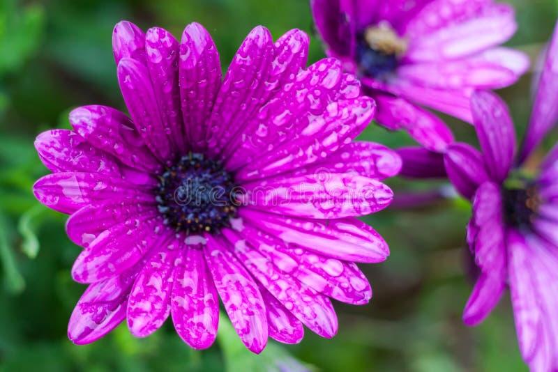 Plan rapproché d'Osteospermum pourpre, ou marguerite africaine, fleurs après pluie photos stock