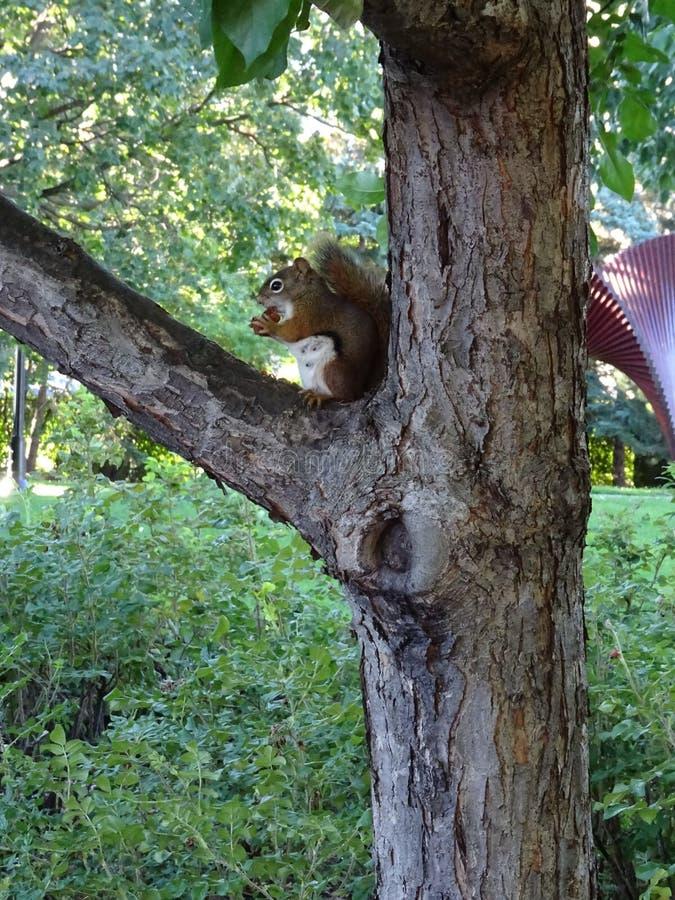 Plan rapproché d'un écureuil dans un arbre mangeant l'écrou photos libres de droits