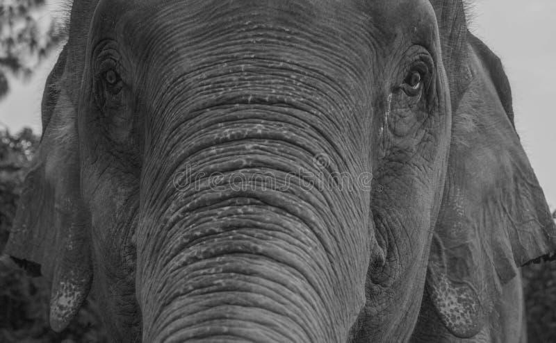 Plan rapproché d'un éléphant photos libres de droits
