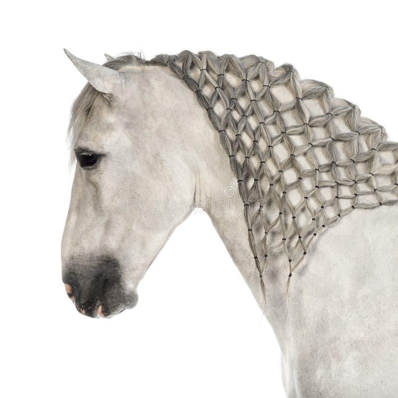 Plan rapproché d'un Andalou de mâle avec la crinière tressée, 7 années, également connues sous le nom de cheval espagnol pur ou PR photographie stock libre de droits